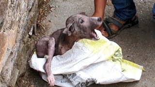Terrified_&_in_pain,_puppy's_amazing_transformation_after_rescue