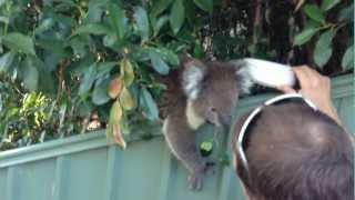 Repeat youtube video Cute Koala Kisses (the nose boop)