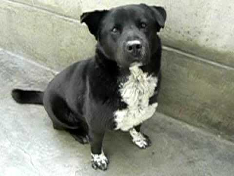 Well Behaved Border Collie Chow Mix A249897 Adopted