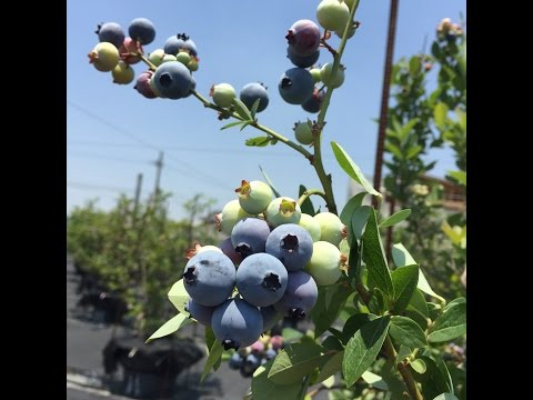 Blueberry picking in Kurume