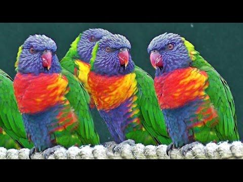 Lorikeets – Exotic Birds