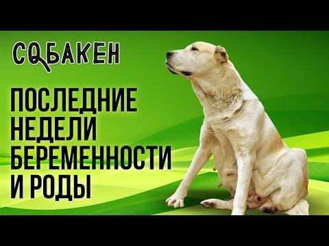 Последние недели беременности и роды алабая | Туркменский алабай | Роды у собаки