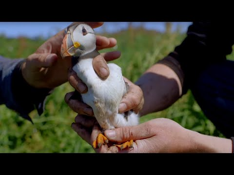 First Time Cute Baby Puffin Sees World - World Beneath Your Feet - BBC