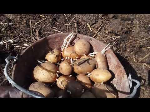 Вопрос: Как сажают картофель на газету с землей, без перекапывания земли?