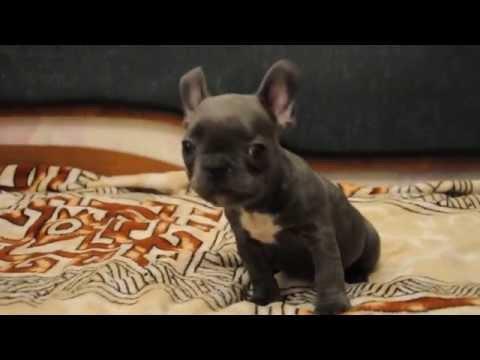 Blue French Bulldog Puppy - Male