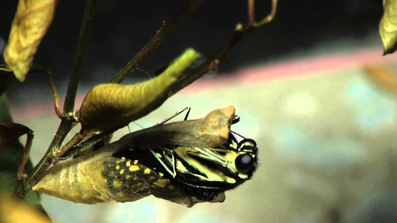 Close up of butterfly coming out of its cocoon hd youtube
