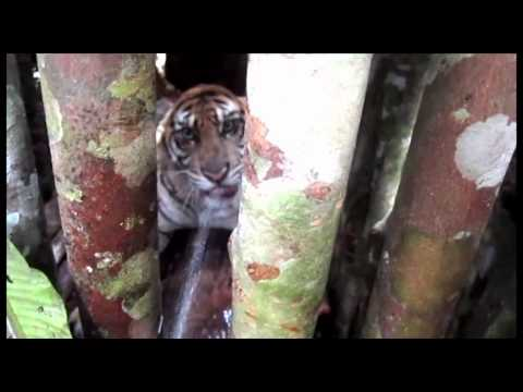 Fauna & Flora Internation: Fighting Tiger Poaching