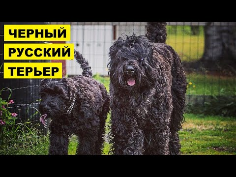 Русский черный терьер плюсы и минусы породы | Собаководство | Порода Русский черный терьер