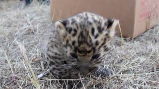 Редкий малыш от пантеры и леопарда родился на Ставрополье