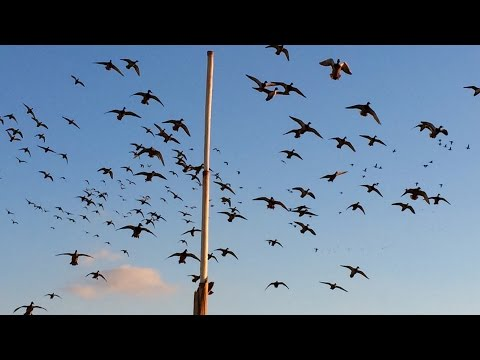TN River Boys: North Dakota Dry Field Duck Hunt