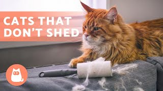 8 CAT BREEDS That SHED the LEAST