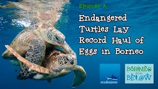 Endangered Turtles Lay Record Haul of Eggs in Mabul - Borneo From Below: Ep08