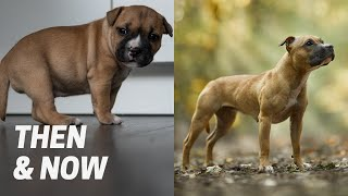 Staffordshire Bull Terrier Puppies: One Year Later