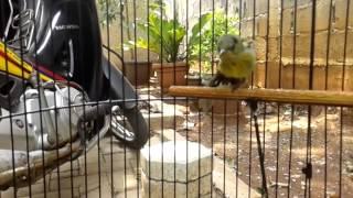 Kolibri ninja trotol