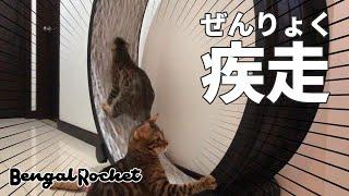 【ねこ玩具】真夜中にランニングマシーンで全力疾走するベンガル猫ww【ベンガルロケット♯120】