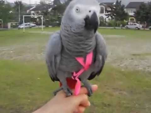 How I fly my African Grey.