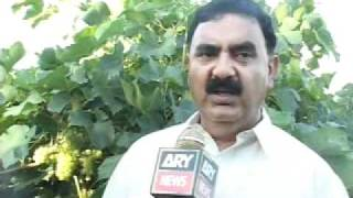 ijaz khan farmer attock grapes 3.mp4