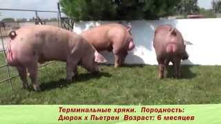 племенные свиньи пород 'Пьетрен