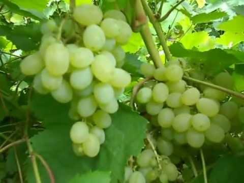 Сорт винограда Русский янтарь.