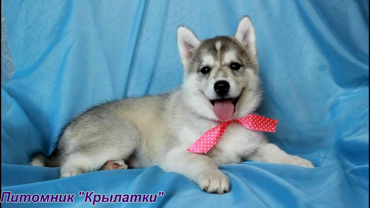 Недорого!. Продам замечательного, высокопородного, подрощенного щенка сибирской хаски от выставочных родителей с отличной родословной.
