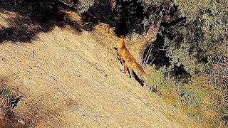 Caza del zorro con podencos en zarzas