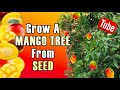 How To Grow A Mango Tree The Right Way The First Time Trying ! video