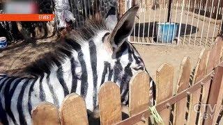 В зоопарке Каира покрасили ослов, чтобы выдать их за зебр
