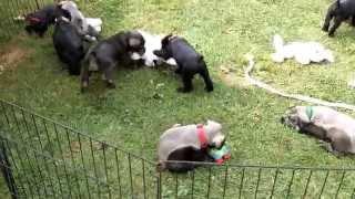 Rosies Standard Schnauzer Puppies 9/10/15