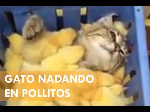 Gato nadando en caja llena de pollitos