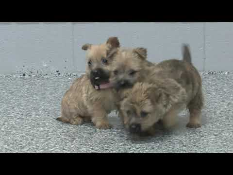 Wayne Weaver's Cairn Terrier Puppies