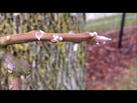 Black walnut (Juglans nigra) - crown - December 2017 from YouTube · Duration:  31 seconds