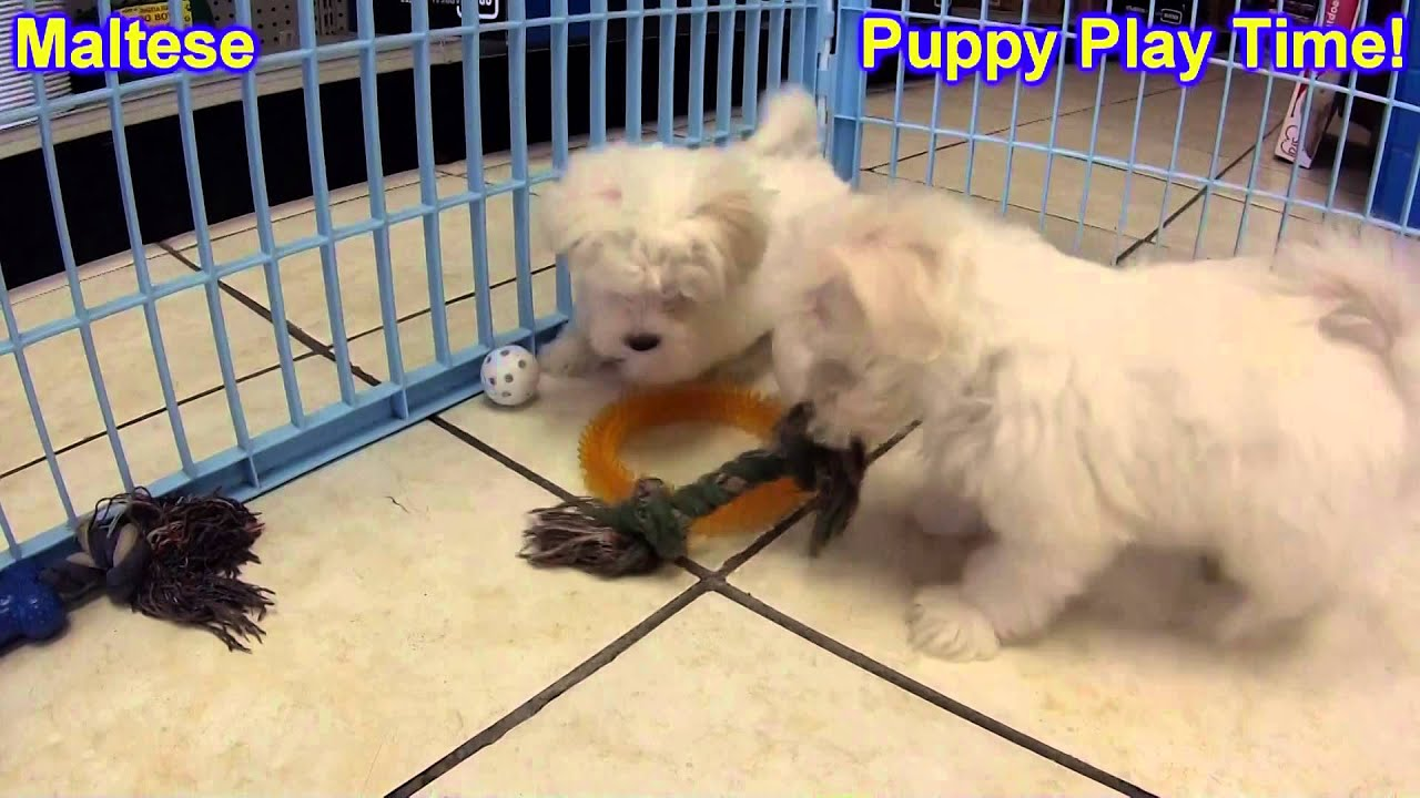 maltese puppies for sale in colorado maltese puppies dogs for sale in colorado springs 1255