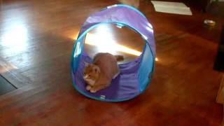Funny Dog and Cat Video Doberman pincher and kitten pet humor thumbnail