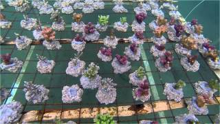 RVS ☆☆☆☆ Maricultured Coral Farm