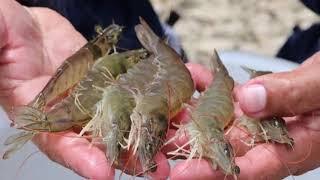 চিংড়ি মাছের অজানা কিছু তথ্য জেনে নিন || Unknown information on shrimp fish