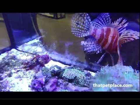 Lionfish & Scorpionfish Feeding Frenzy