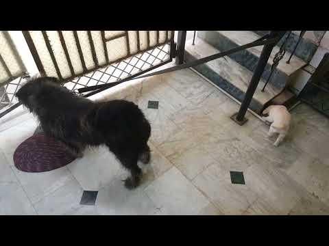 Golden retriever puppy with bearded tibetan mastiff