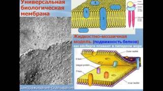 Цитоплазма. Видео лекция С.М.Зиматкин (2)