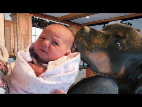 Rottweiler Protecting Babies and Kids Videos 2018