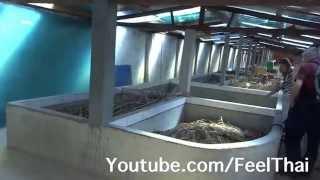 ฟาร์มจิ้งหรีด Cricket farming Đà Lạt  Vietnam