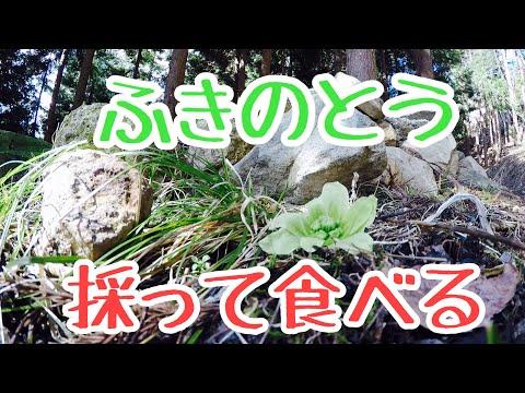 【山菜採り】ふきのとう。採って食べてみた【ベランダキャンプ】