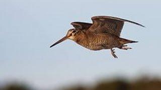 Охота на вальдшнепа весной  (тяга)(Вальдшнеп птичка не большая, считается боровой дичью, птица перелетная прилетает ранней весной. Летает(..., 2014-04-26T08:59:26.000Z)