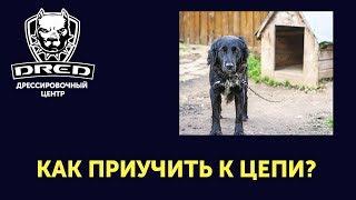 Как приучить собаку к цепи? Нужно ли? Какие последствия будут для собаки?