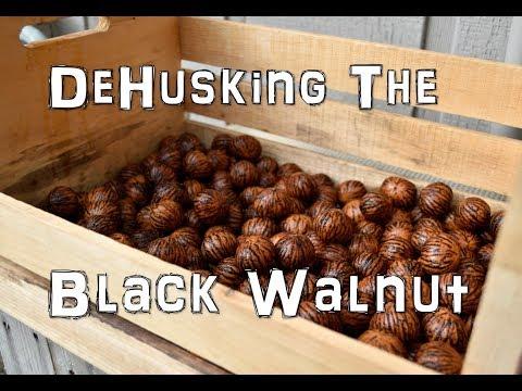 How To De-husk The Black Walnut, The EASIEST Way!