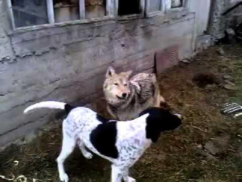 Wolf & dog / Волк и собака