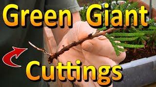 Propagating Green Giant Arborvitae | Rooting Hardwood Thuja Cuttings
