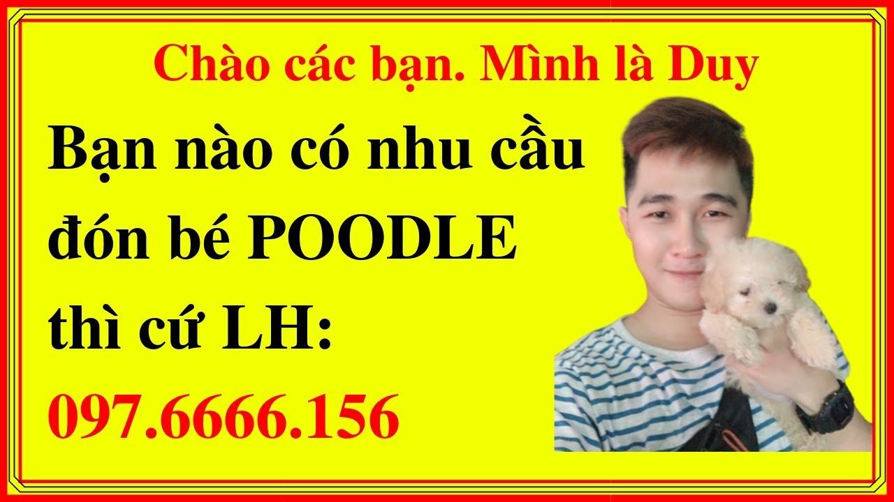 Chó Poodle Lai Phốc Sóc 【Pomapoo】 Ngoại Hình, Tính Cách, Sức Khỏe – Mua Ở Đâu – Giá Bao Nhiêu