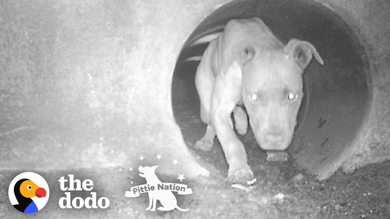 Pittie Living In Sewer Becomes A Cuddlebug Once She's Safe | The Dodo Pittie Nation
