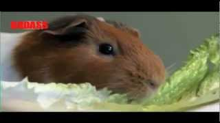 Honey Badger Narrates: The Joy of Guinea Pigs