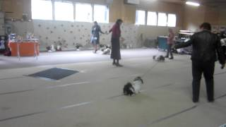 Best Female Puppies At Finnish Shih Tzu Club Show 2012